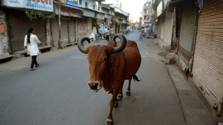 india_street_cows