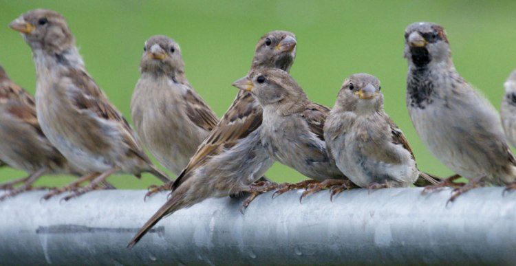 sparrows-on-railing-full-width-1